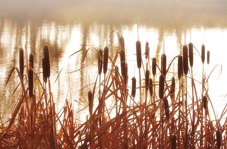 7 Ways To Use The Unbelievable Cattail Plant For Survival
