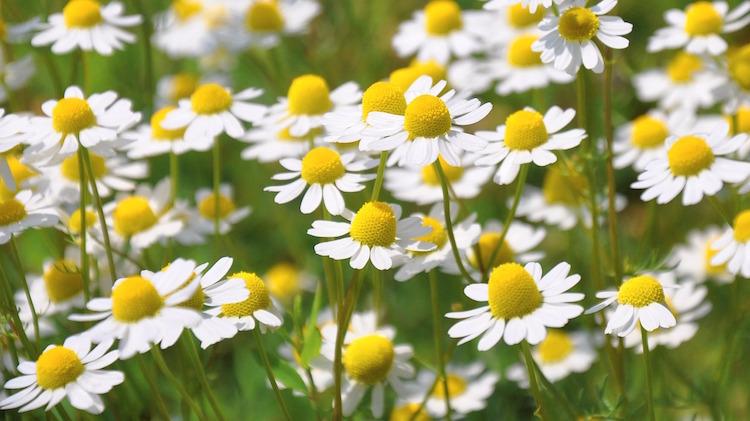 German Chamomile Flowers
