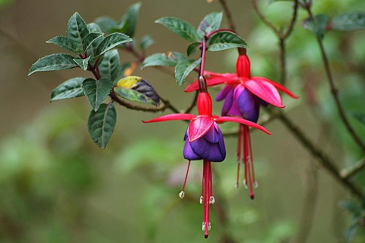 Fuchsia Magellanic