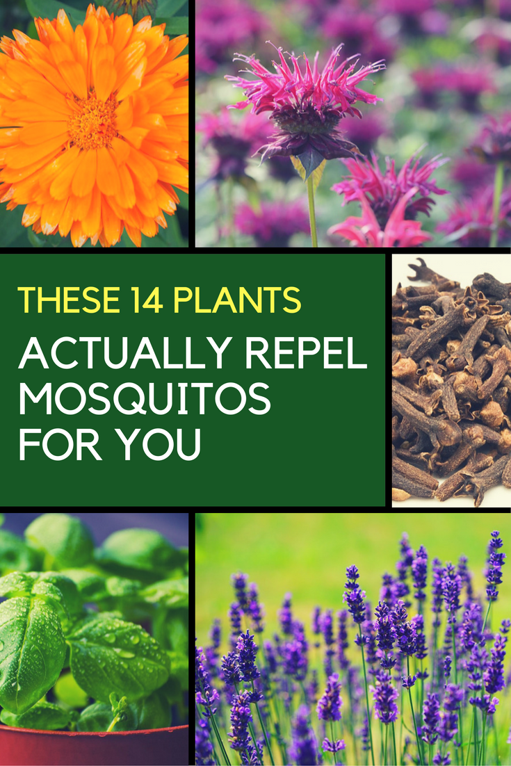 14 Plants That Help You Get Rid of Mosquitos. | Ideahacks.com