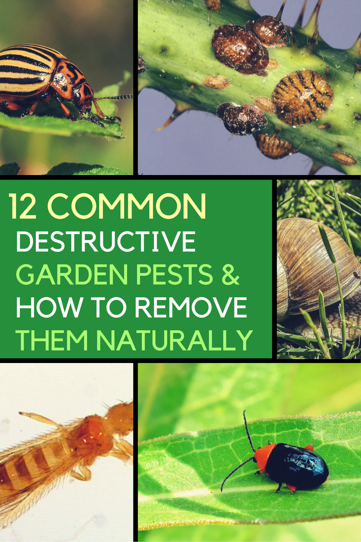 12 Common Destructive Garden Pests & How to Get of Them Organically. | Ideahacks.com