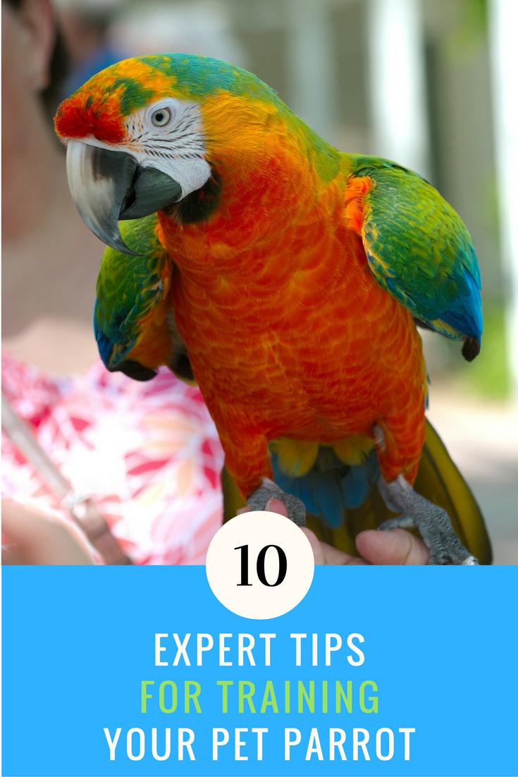10 Expert Tricks for Training Your Pet Parrot. | Ideahacks.com