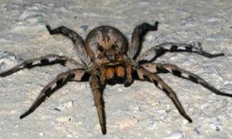Zilian Wandering Spider
