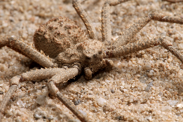 Six Eyed Sand Spider