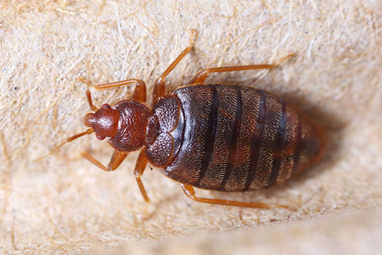How to Get Rid of Bed Bugs Forever (15 Natural Ways)