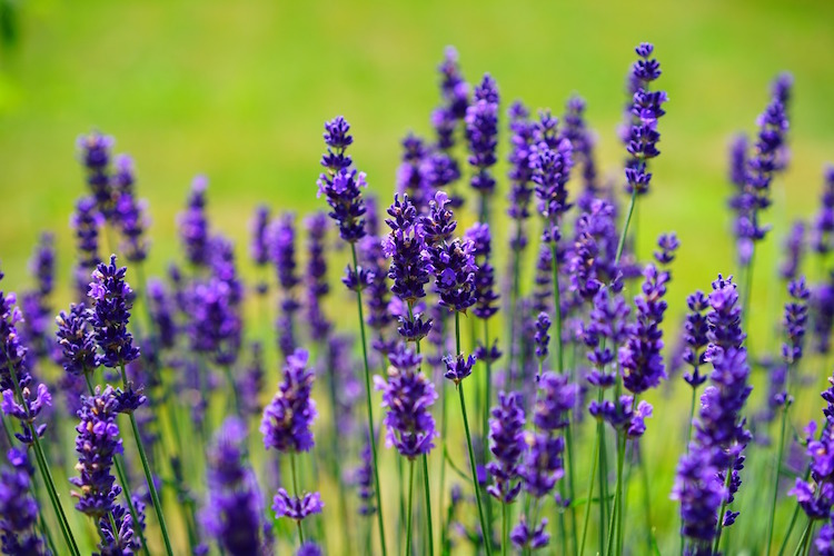 Best Lavender Essential Oils