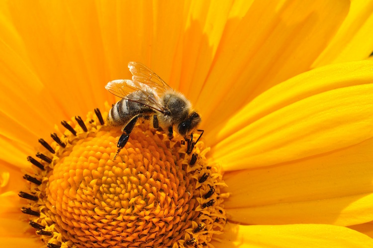 benefits of bee pollen