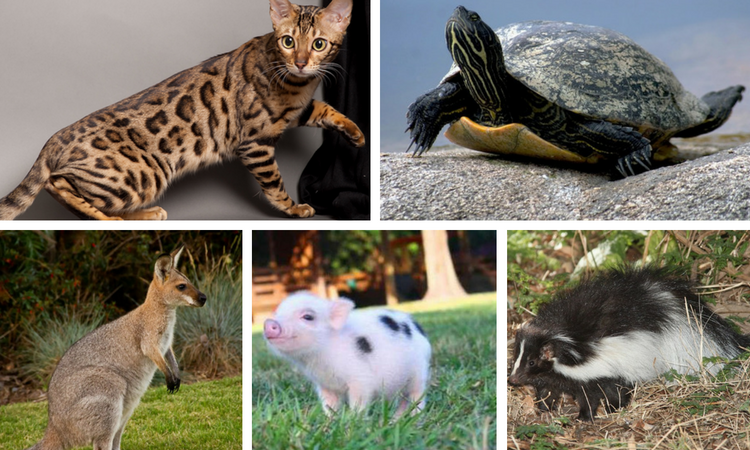 17 Exotic Animals You Can Legally Own As Pets