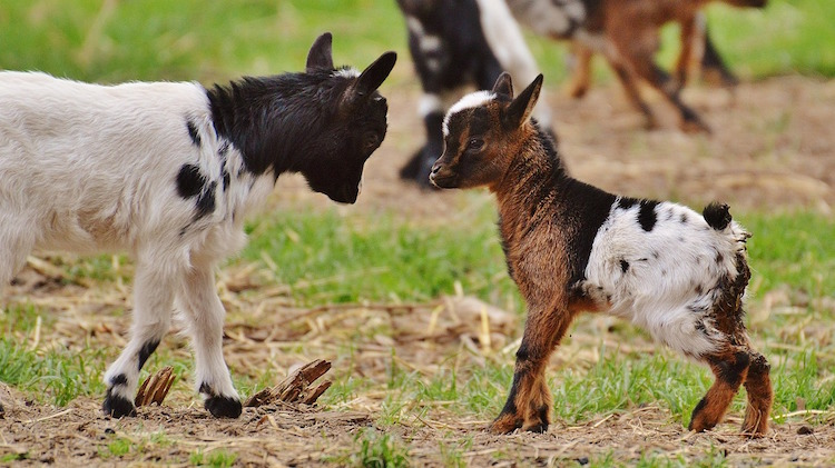 Raising Goats Benefits
