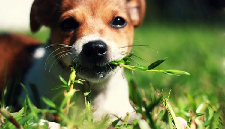 Dog Eating Grass