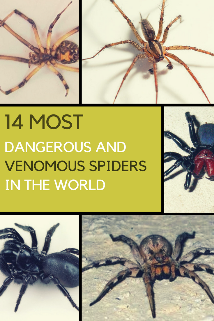 14 Most Dangerous & Venomous Spiders in The World