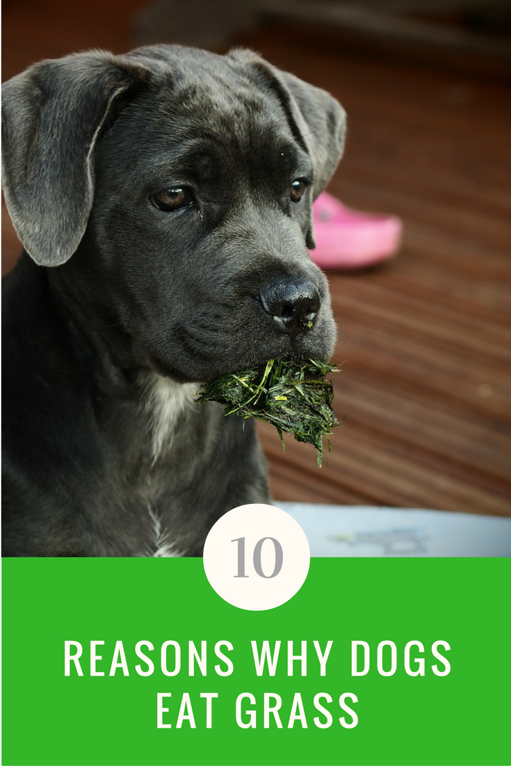 Why Do Dogs Eat Grass? We Have The Answers