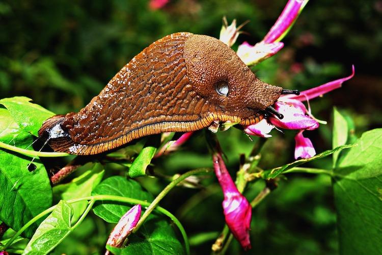 Slug in Garden