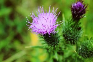 10 Extraordinary Milk Thistle Benefits You Never Knew About