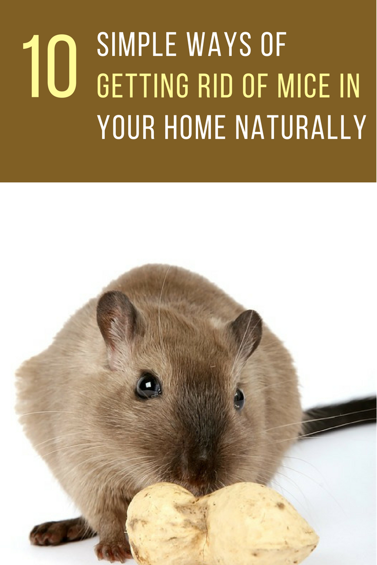 10 Simple Ways to Get Rid of Mice Naturally in Your Home. | Ideahacks.com