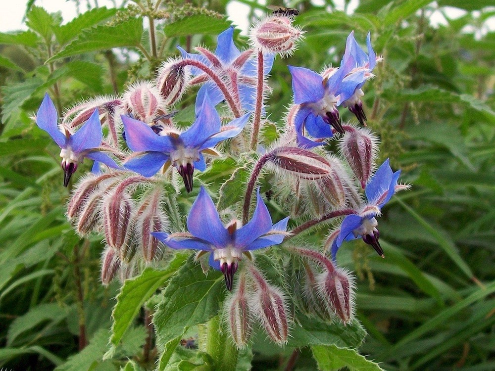 22 Far-Reaching Benefits and Uses of Borage Oil