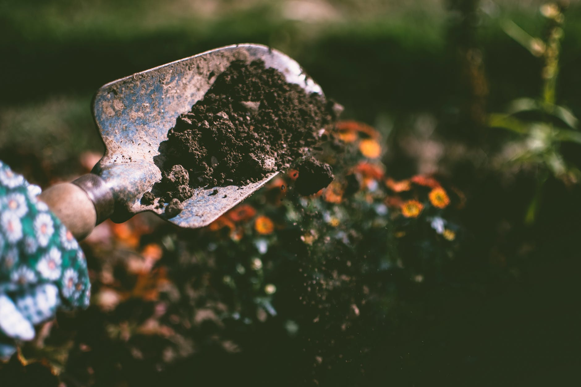 person digging soil using garden shovel best fertilizer for tomatoes