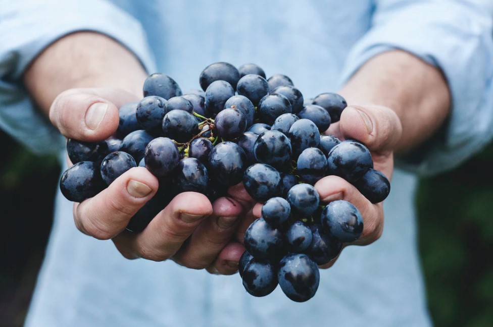 grapes like these purple ones are used to making natural wine