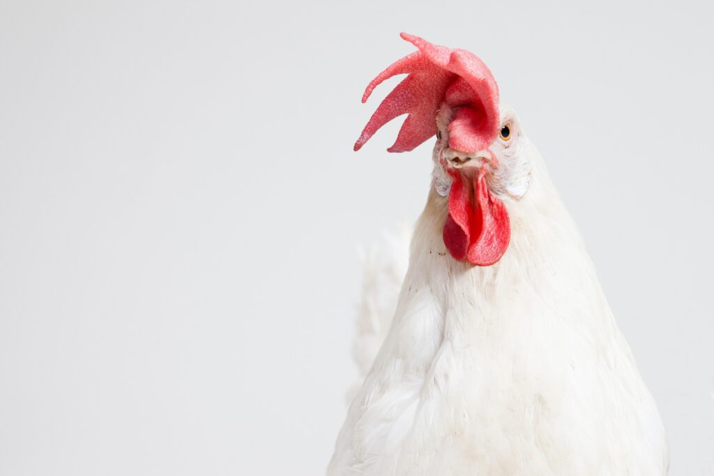 A close up of a chicken's face