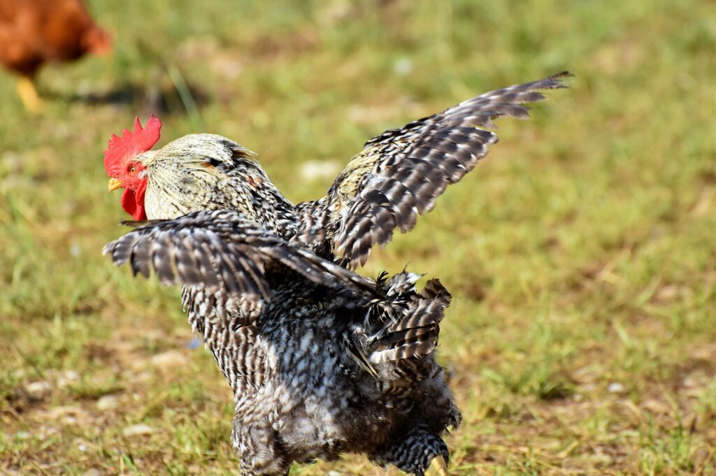 A rooster with its wings spread to answer the question can chickens fly